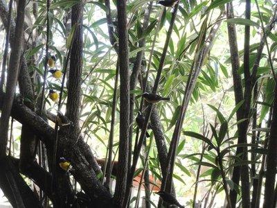 Bananaquits at the restaurant