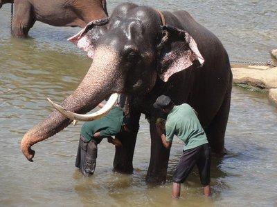 Large bull elephant getting a bath
