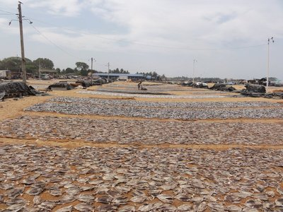 The beach covered with fish drying
