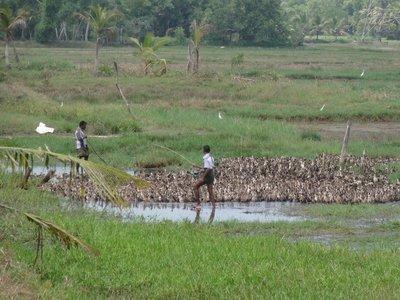 Herding ducks!
