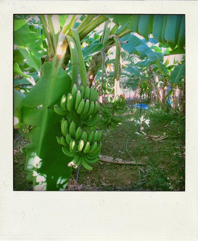 bananen aan het rijpen op de boom