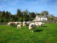 wales_sheep.jpg
