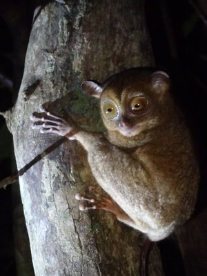 The Western Tarsier, the smallest primate in the world at just 6 inches tall!