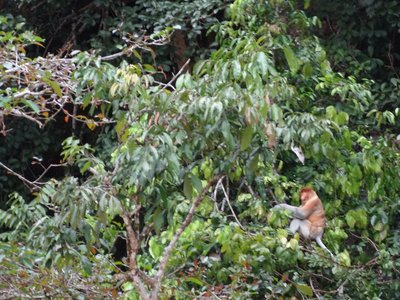 Male Proboscis Monkey, endemic to Borneo and very odd-looking with it's bulbous nose and pot belly.
