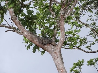 A big monitor lizard surveying the river from it's tree