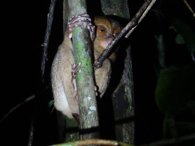 The peculiar-looking, but totally wonderful Western Tarsier!