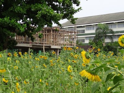 Sunflowers and scaffolding