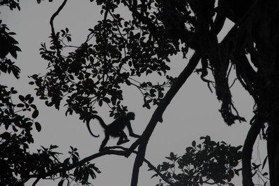 Spider monkey at Tikal