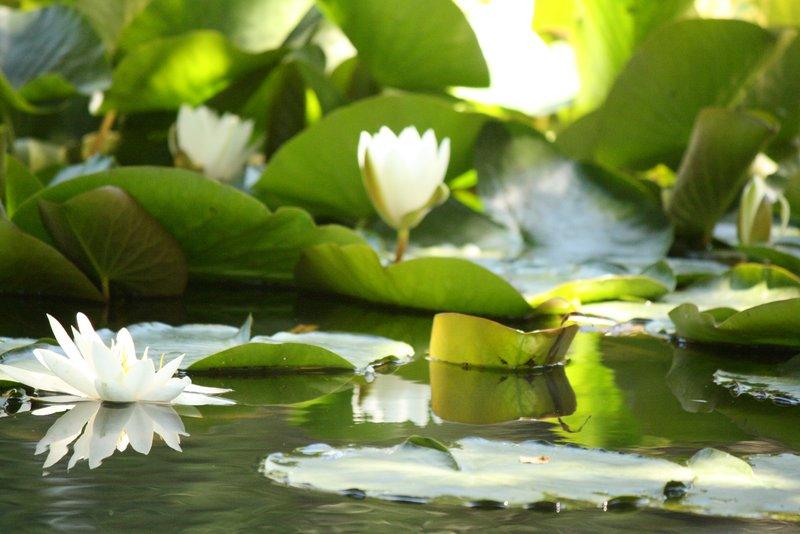 Lilies afloat