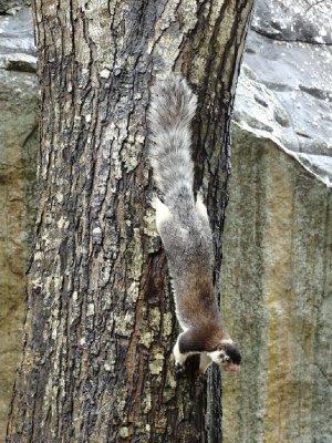 Giant squirrel?