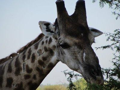 giraffe scar