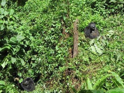 gorilla_trek_054.jpg