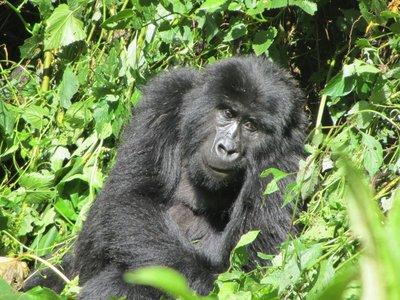 gorilla_trek_064.jpg