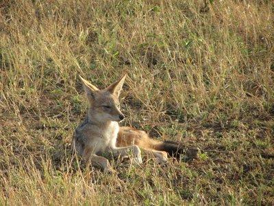 jackal sitting