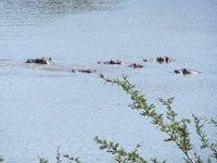 hippos_under_water.jpg