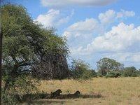 lions_under_tree.jpg