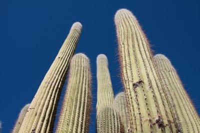 enormous cactus