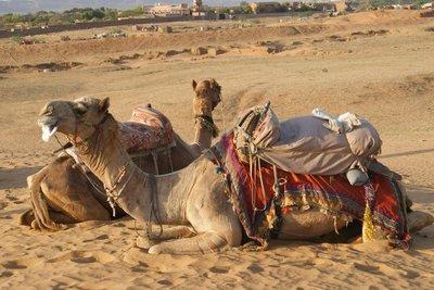Parked camels - camelot?  no, Pushkar