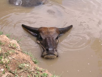Water Buffalo in the Mekong