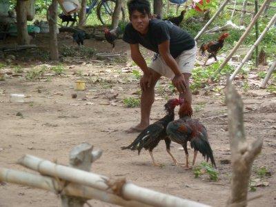 Hahnenkampf - ein beliebter Sport