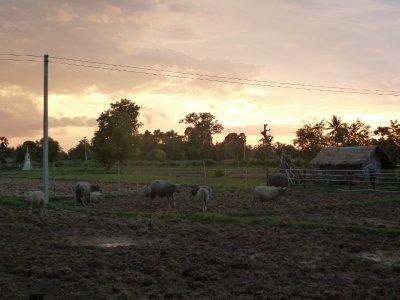 Wasserbüffel im Abendlicht