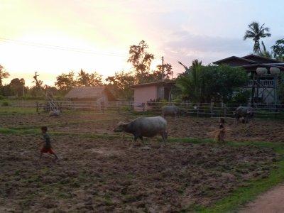 Kinder bringen ihren Wasserbüffel nach Hause