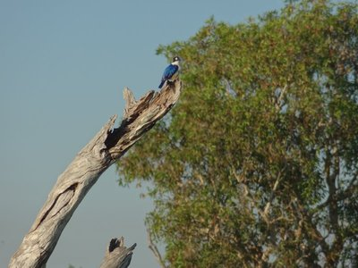 A beautiful Kingfisher on our Yellow Water cruise