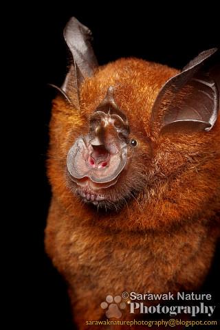 Horse-shoe Bat