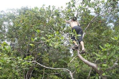 nate climbing a cashew tree