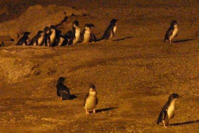 Penguins_Oamaru