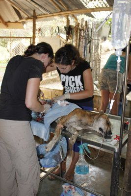 Sterilizing the mother of the street puppies