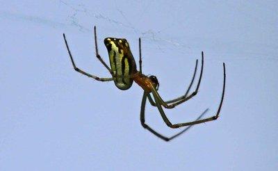 Spider - Chitwan