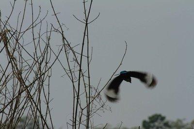 Kingfisher in Flight - Chitwan