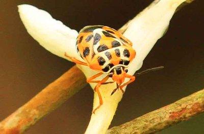 Ladybird - Chitwan