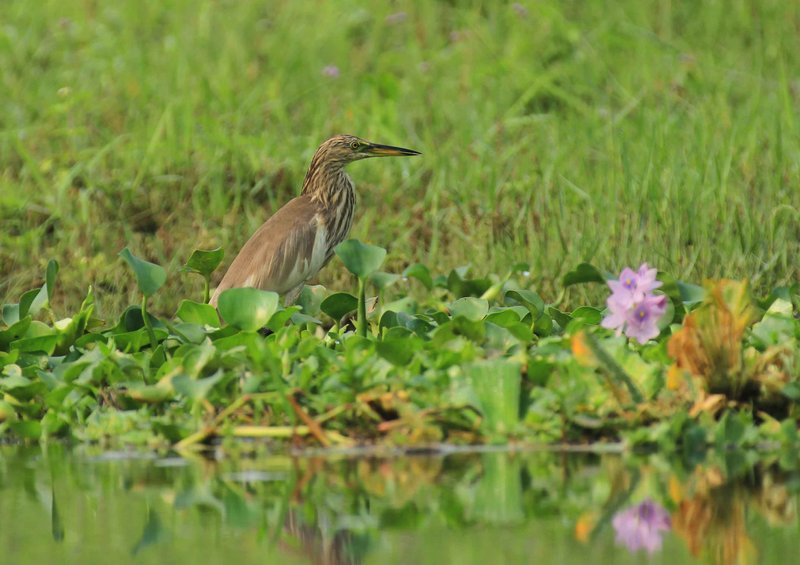 Pond Heron - Chitwan