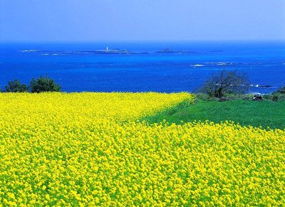 Jeju's fields of canola against the bright blue sea