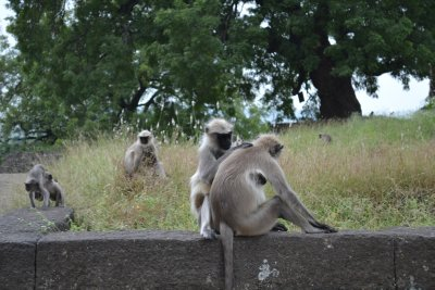 Langurs at Ellora Caves