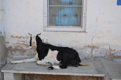 Friendly Mandawa Goat