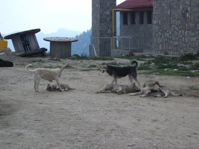 romanian_dogs.jpg