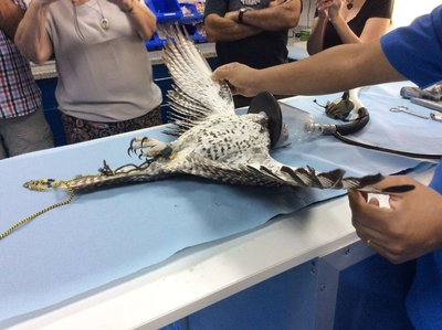 Showing us the wing span of a Falcon while it was under sedation.