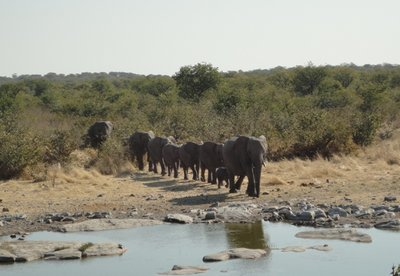 Elephant convoy, Etosha. The first herd of about 40 elephants to come and drink at Halali watering hole that afternoon.