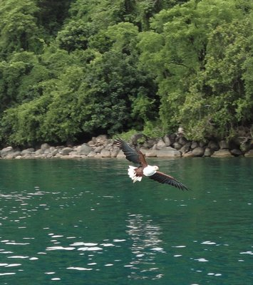 Fish Eagle at Lake Malawi