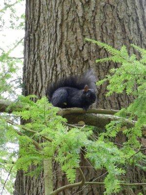 Stanley Park: eekhoorn