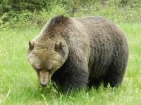 Grizzly on Bow Valley Parkway