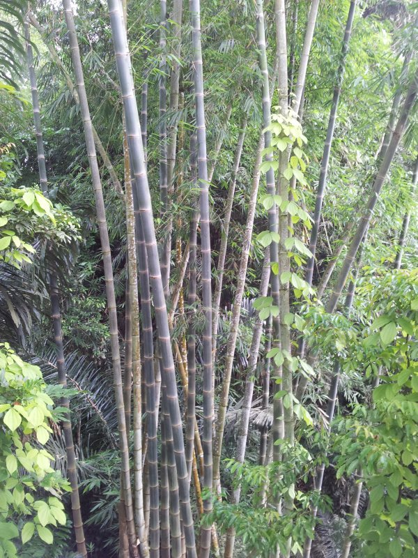 large_bamboo.jpg