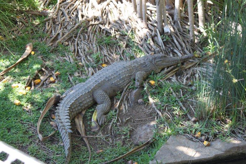 large_crocodile.jpg
