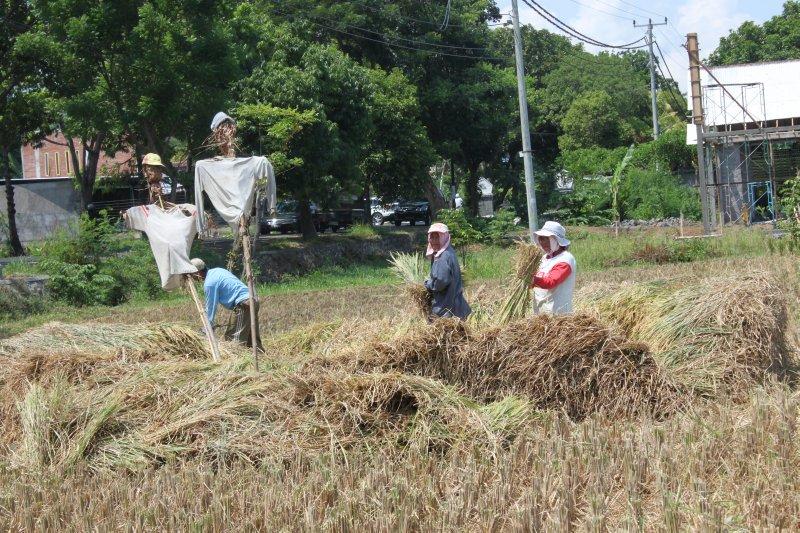 large_harvest_the_ricefields.jpg
