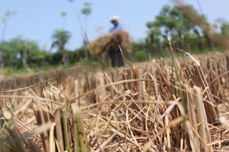 large_harvested_ricefield.jpg