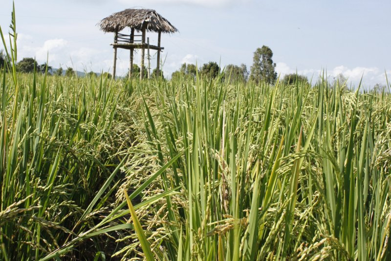 large_house_on_ricefield.jpg