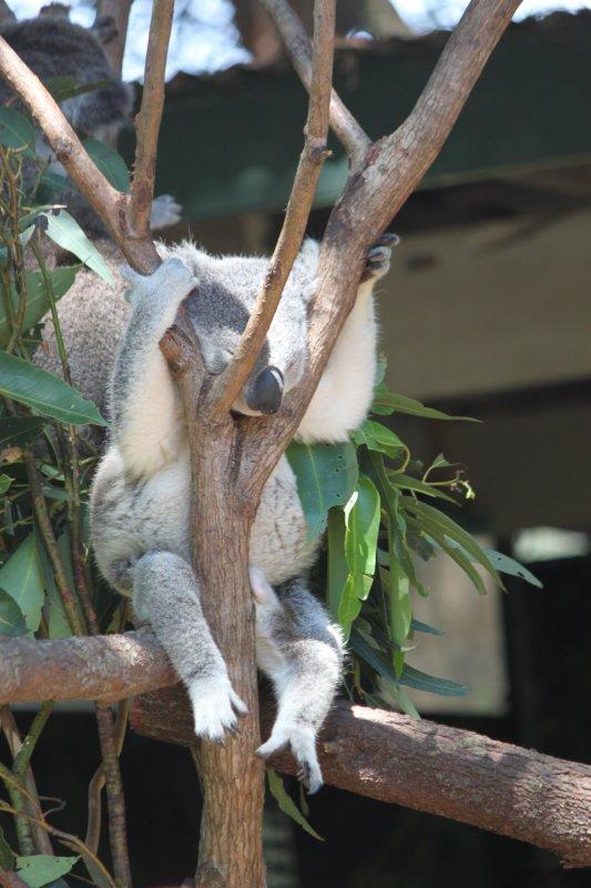 large_koala1.jpg